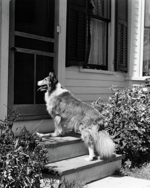 Collie Photograph - 1930s Rough Scotch Collie Dog Standing by Vintage Images