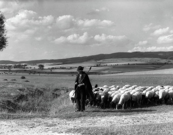 Wall Art - Photograph - 1930s Shepherd Leading Flock Of Sheep by Animal Images