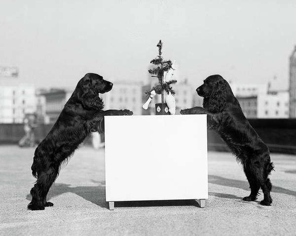 Dog Treat Photograph - 1930s Two Black Cocker Spaniels by Vintage Images