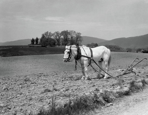 Plow Horses Photograph - 1930s White Horse In Field Harnessed by Vintage Images