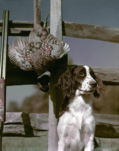 Springer Spaniel Photograph - 1940s Dark Brown & White Dog Springer by Animal Images