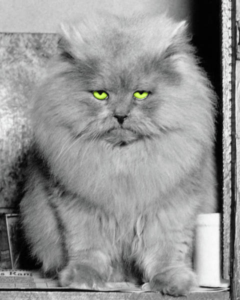 Long Hair Cat Photograph - 1940s Long Hair Blue Persian Cat by Vintage Images