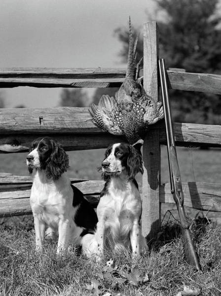 Pheasant Photograph - 1940s Pair Of English Springer Spaniels by Vintage Images