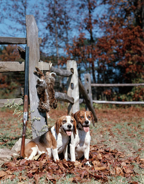 Wall Art - Photograph - 1950s 1960s 2 English Beagle Hunting by Animal Images