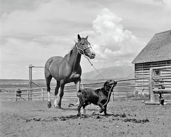 Corral Wall Art - Photograph - 1950s 1960s Black Dog Leading Horse by Vintage Images