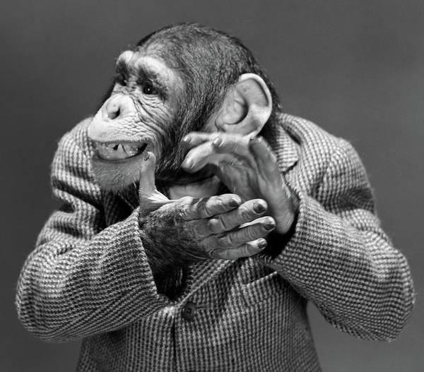 Traits Photograph - 1950s 1960s Monkey Chimp Chimpanzee by Vintage Images