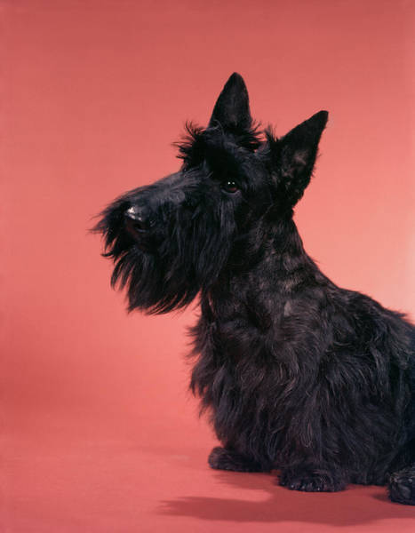 Wall Art - Photograph - 1950s Black Scottish Terrier On Pink by Animal Images
