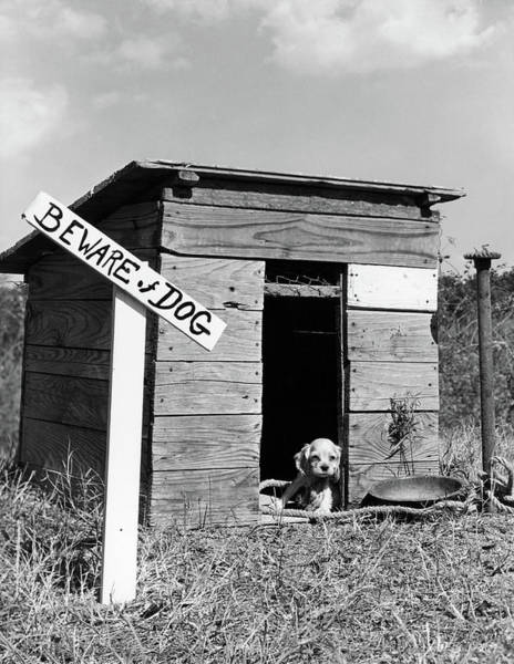 Cocker Spaniel Photograph - 1950s Cocker Spaniel Puppy In Doghouse by Vintage Images