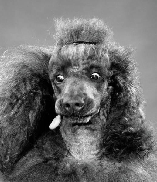 Dog Biscuit Photograph - 1950s French Poodle Eyes Wide Open by Vintage Images