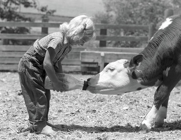 Wall Art - Photograph - 1950s Little Blonde Girl Feeding Calf by Animal Images