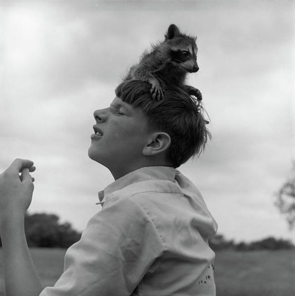 Raccoon Photograph - 1950s Raccoon Sitting On Boys Head by Vintage Images