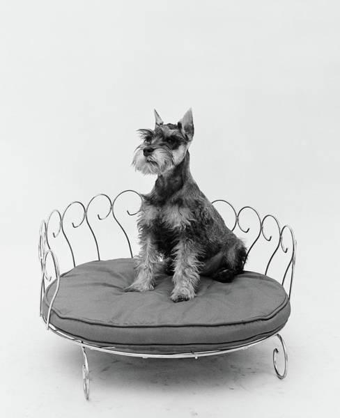 Schnauzer Photograph - 1950s Schnauzer Dog Sitting Prettily by Vintage Images