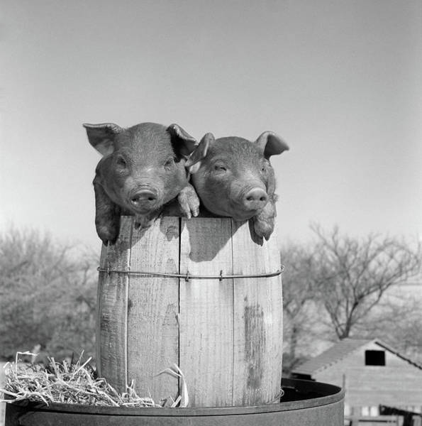 Wall Art - Photograph - 1950s Two Duroc Pigs Piglets In A Nail by Vintage Images