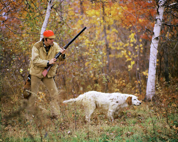 Setters Photograph - 1960s 1970s Man Hunter With Shotgun by Animal Images