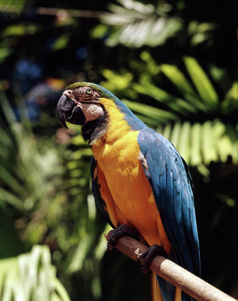 Macaw Photograph - 1960s Blue And Yellow Macaw Parrot by Animal Images
