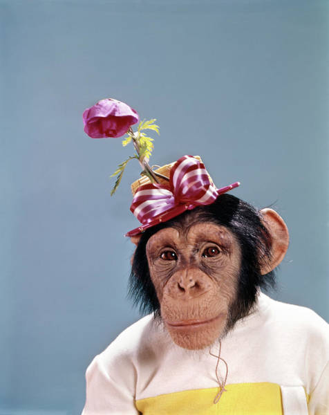 Monkey Flower Wall Art - Photograph - 1960s Chimpanzee Wearing Dress by Vintage Images