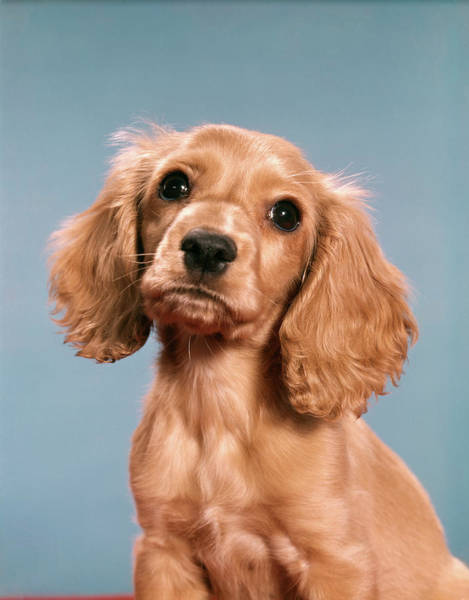 Cocker Spaniel Photograph - 1960s Cute Cocker Spaniel Puppy Looking by Vintage Images