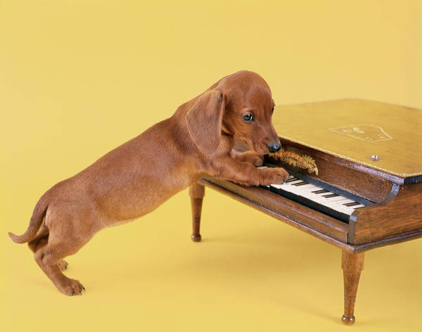 Wall Art - Photograph - 1960s Dachshund Puppy Playing Toy Piano by Vintage Images