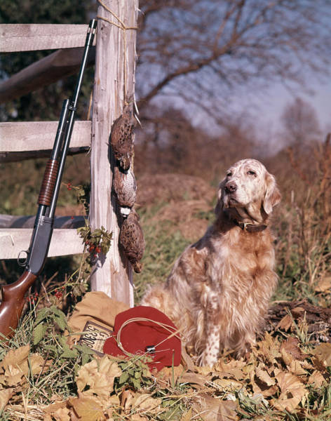 Setters Photograph - 1960s English Setter Hunting Dog by Animal Images