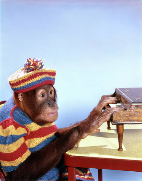Player Piano Photograph - 1960s Funny Humorous Orangutan Pongo by Vintage Images