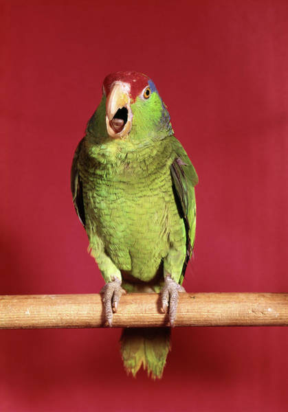 Screech Photograph - 1960s Green Parrot With Red And Blue by Animal Images