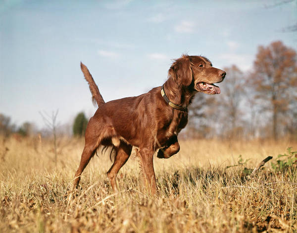 Fall Wall Art - Photograph - 1960s Irish Setter Hunting Dog On Point by Vintage Images