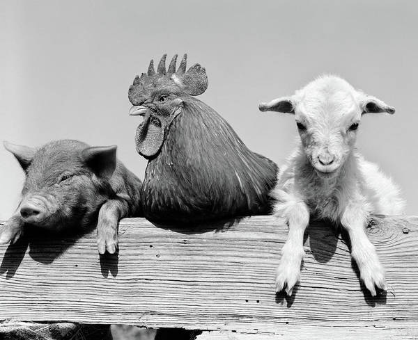 Black Sheep Photograph - 1960s Piglet Rooster Lamb Trio Leaning by Vintage Images