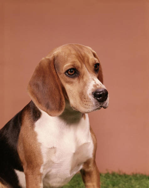 Wall Art - Photograph - 1960s Portrait Of Beagle Dog by Animal Images