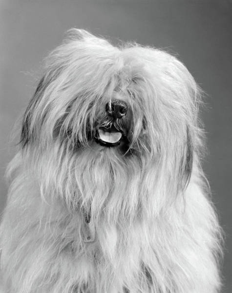 Best Friend Photograph - 1960s Portrait Of Old English Sheepdog by Vintage Images