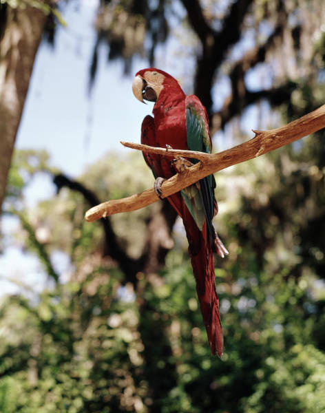Macaw Photograph - 1960s Scarlet Macaw Parrot Perched by Animal Images