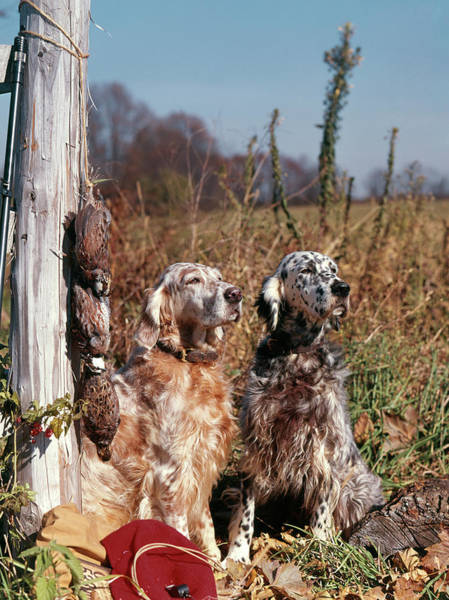 Setters Photograph - 1960s Two English Setter Dogs Sitting by Animal Images
