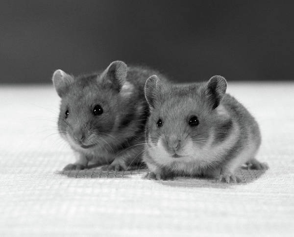 Hamster Photograph - 1960s Two Hamsters Sitting On Textured by Vintage Images