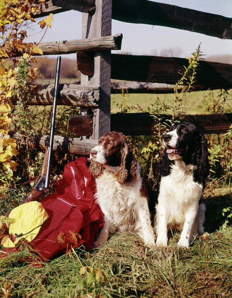 Springer Spaniel Photograph - 1960s Two Springer Spaniel Hunting Dogs by Vintage Images