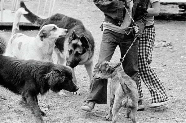 Setters Photograph - 1970s Four Dogs One On Leash Getting by Animal Images