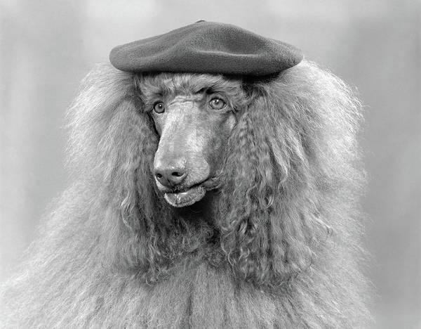 Best Friend Photograph - 1970s French Poodle Wearing Beret by Vintage Images