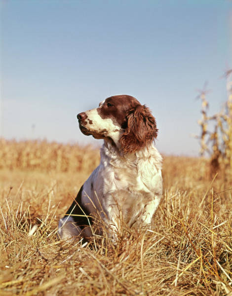 Fall Wall Art - Photograph - 1970s Hunting Dog In Autumn Field by Vintage Images