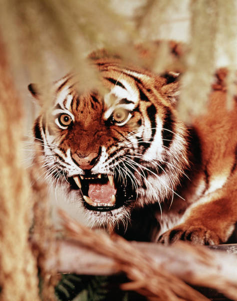 Growling Wall Art - Photograph - 1970s Snarling Growling Mean Tiger by Animal Images
