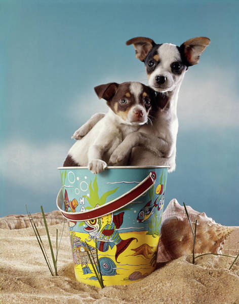 Wall Art - Photograph - 1970s Two Miniature Dogs Chihuahua by Vintage Images
