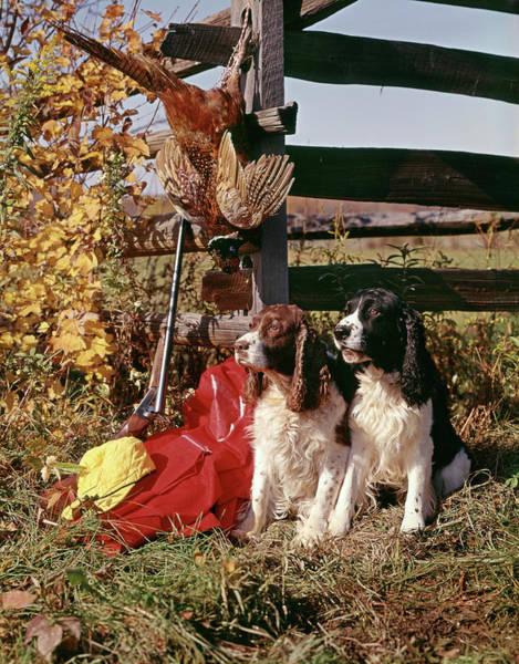 Springer Spaniel Photograph - 1970s Two Springer Spaniel Dogs by Animal Images