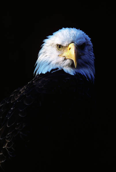 Wall Art - Photograph - 1980s Bald Eagle Head Haliaeetus by Animal Images