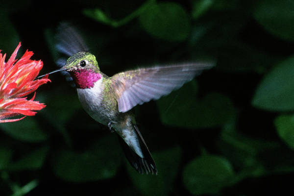 Broad-tailed Hummingbird Photograph - 1980s Broad-tailed Hummingbird by Animal Images