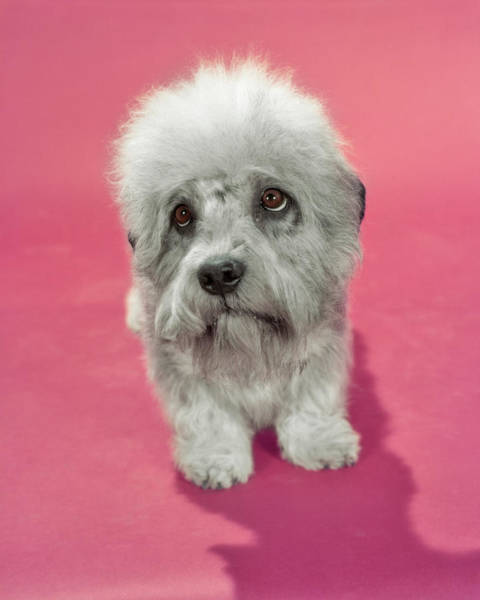 Wall Art - Photograph - 1980s Dandie Dinmont Terrier Dog Gray by Animal Images