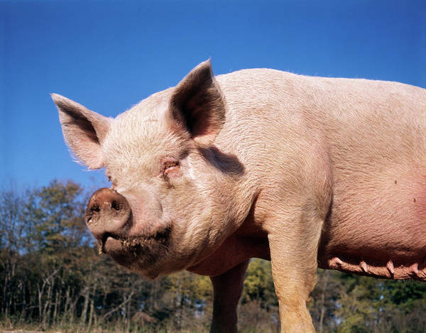 Pigpens Photograph - 1980s Face Of Sow Female Pig With Dirty by Animal Images