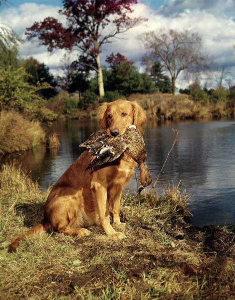 Duck Hunt Photograph - 1980s Golden Retriever Holding A Dead by Vintage Images