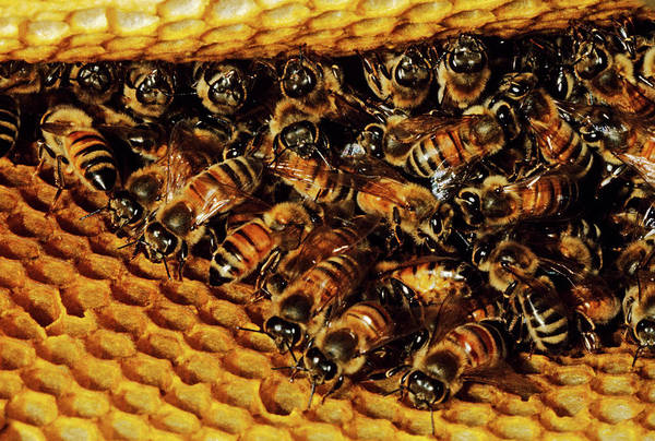 Bee Hive Photograph - 1980s Honey Bee Hive by Animal Images