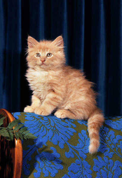 Ginger Cat Photograph - 1980s Kitten Sitting On Back Of Chair by Vintage Images