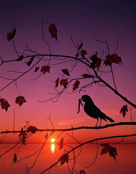 Proverb Photograph - 1980s Robin Turdus Migratorius by Animal Images