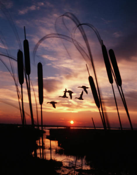 Wall Art - Photograph - 1980s Silhouetted Ducks Flying by Animal Images