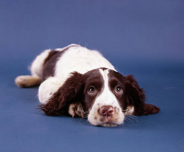 Springer Spaniel Photograph - 1980s Springer Spaniel Dog Puppy Laying by Vintage Images
