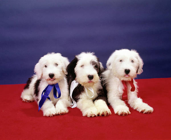 Puppies Photograph - 1980s Three Old English Sheep Dog Pups by Vintage Images